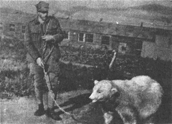 Słynny niedźwiedź Wojtek wcale nie był pierwszy! Szlaki w polskim wojsku przetarła Baśka.