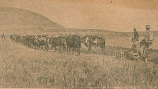 W 1938 r. a Angoli pozostało jedynie pięć polski kolonii. Tak zakończył się sen o naszym równikowym Eldorado. Na zdjęciu orka na płaskowyżu Benguelli.