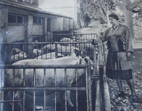 Hrabina Ciunkiewiczowa karmi świnie w swoim francuskim majątku.