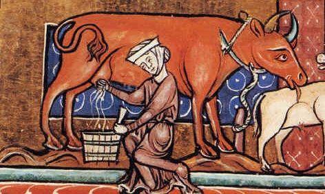 Niełatwe było życie krowy w średniowieczu.